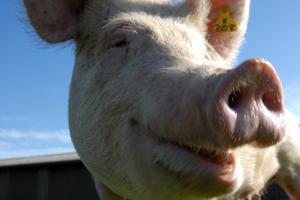 Что важно знать свиноводам в области снижения зависимости от антибиотиков, контроля микотоксинов и минерального питания