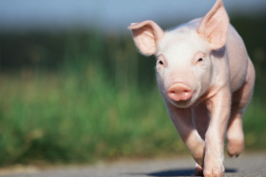 The diversity and balance of the pig's microbiome, or intestinal ecosystem, are critical to its health and performance, especially as antibiotics are reduced.