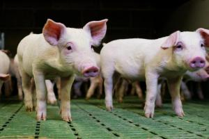 500+ mycotoxins putting your pigs at risk