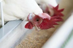 วิตามินเป็นส่วนสำคัญต่ออาหารของปศุสัตว์เพื่อเสริมให้มีภูมิคุ้มกัน การสืบพันธุ์ การย่อยอาหารและอวัยวะ กล้ามเนื้อ ระบบประสาทและระบบไหลเวียนที่ดี ทั้งนี้จะเป็นไปได้หรือไม่ว่าผู้ผลิตจะสามารถลดอัตราการใช้วิตามินในสูตรอาหาร ผู้อำนวยการงานวิจัยของออลเทค ดร. ริชาร์ท เมอร์ฟี่ ตอบว่า เป็นไปได้ โดยเฉพาะอย่างยิ่งเมื่อเราพิจารณาส่วนประกอบอื่นๆ ของอาหาร เช่น ซีลีเนียมอินทรีย์ ซึ่งมีผลกระทบในเชิงเกื้อหนุนและประหยัดกว่า