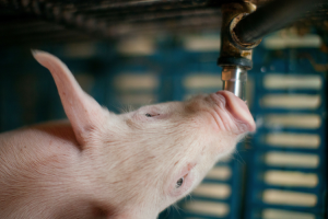 Mortality, feed intake, growth rates and feed efficiency rates are known to be affected by the quality of the water provided to pigs.