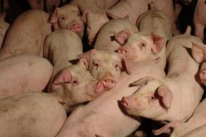 Свиньи очень чувствительны к изменениям окружающей среды, особенно к изменениям температуры.