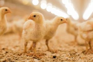 Kvalitetna hranidba, savjeti veterinara i pozorno upravljanje peradnjakom i peradi osigurat će bolje rezultate.