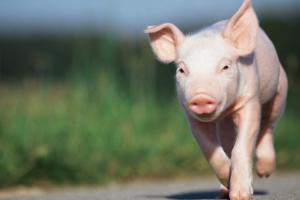 Влиянието на микрофлората при прасетата