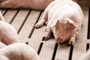 Toplina i velike promjene temperature često mogu uzrokovati golem stres za svinje, što rezultira nižim performansama, zdravstvenim problemima i ekonomskim gubicima za proizvođača.
