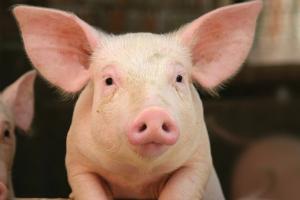 Soluciones de Alltech para el Ganado Porcino