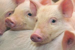 Alltech Pig Solutions